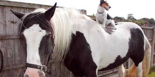 英国小奶狗自己学会骑马 马背驰骋拉风极了