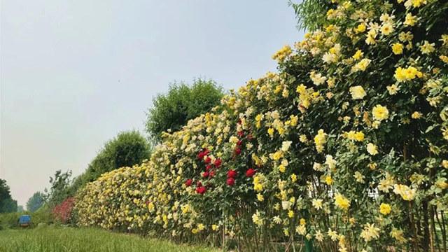 北京驚現千米花墻,這個大花園最適合520去了!我送票,你負責浪漫!