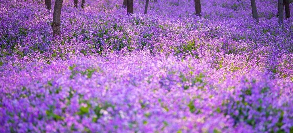 近300000m2的迷人紫色花海、明星御用拍照地~都藏在北京這個免費公園里!