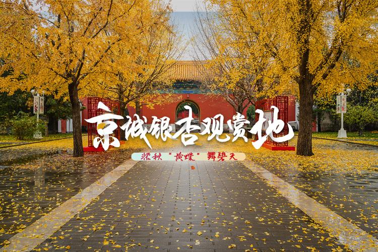 """深秋""""黃蝶""""舞碧天 京城銀杏觀賞地"""