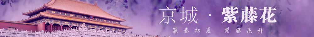 京城紫藤花 暮春初夏,紫藤花開