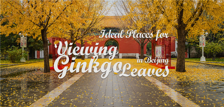Ideal Places for Viewing Ginkgo Leaves in Beijing