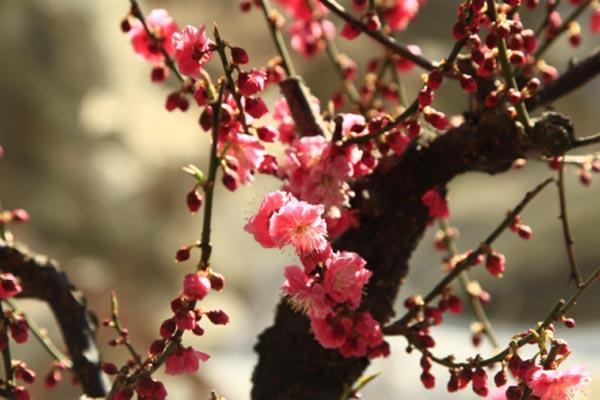 首届长城梅花节2月23日开幕