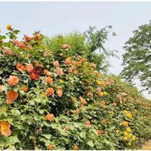 世界花卉大觀園月季文化節
