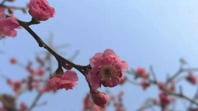 明城墙遗址公园梅花悄然盛开