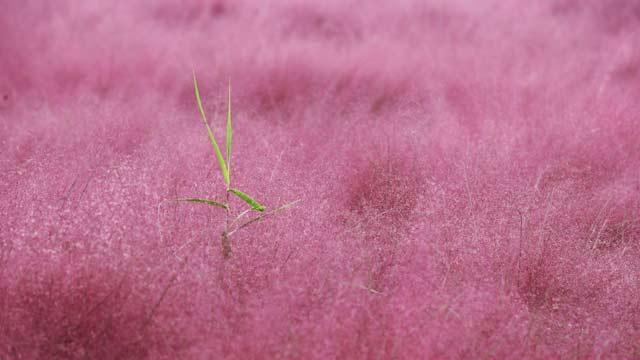 美翻了!北京周邊竟藏著一片粉紅色花海,浪漫堪比普羅旺斯!