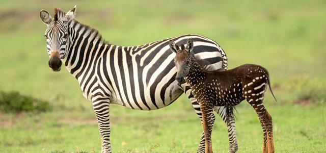 神奇的变异!条纹斑马生出一只斑点斑马