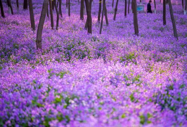 近300000m的迷人紫色花海、明星御用拍照地~都藏在澳门葡京赌场这个免费公园里!