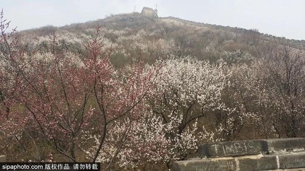 最美人间四月天!?#21495;?#33457;开,北京周边适合登高的地方,花正开得好呢!