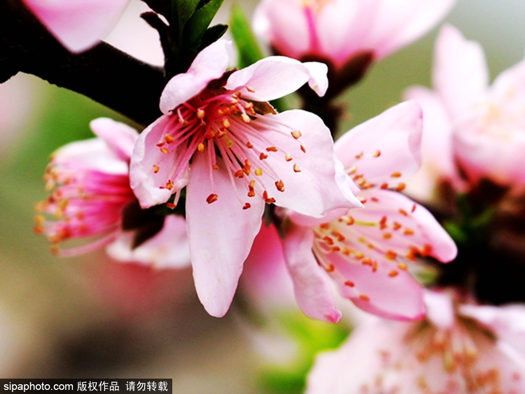 Peach flower festival held in Tianjin