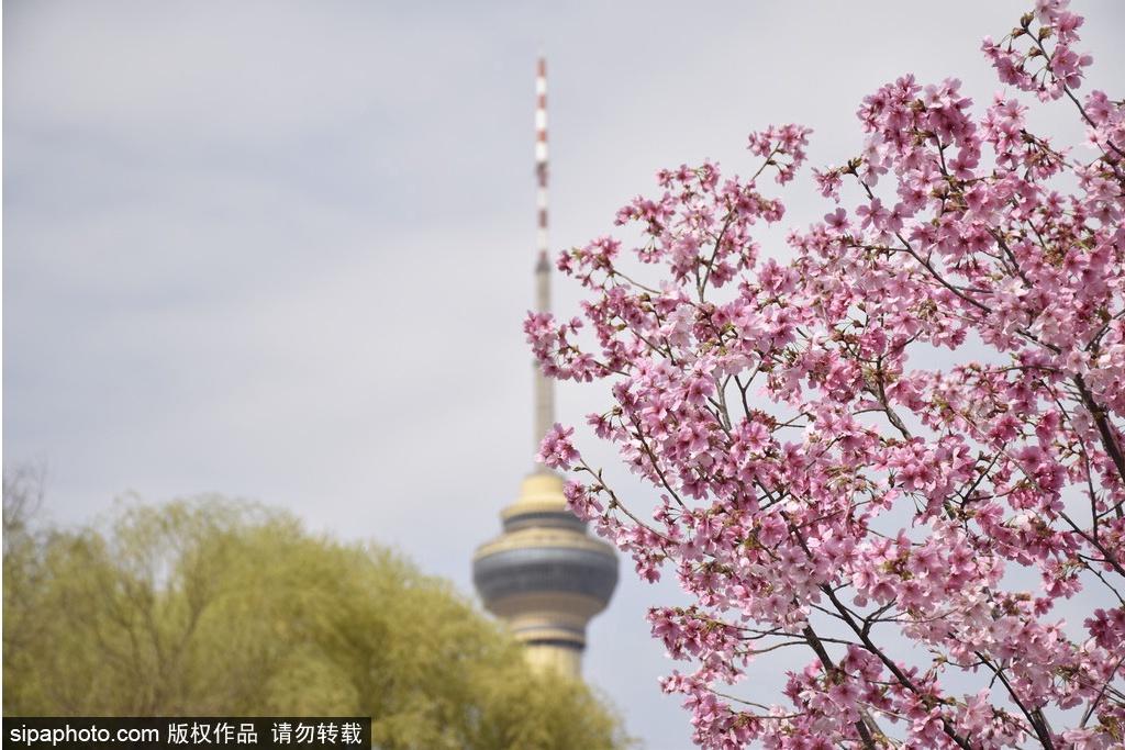 Disfrutar de las primeras flores de cerezo en el Parque Yuyuantan