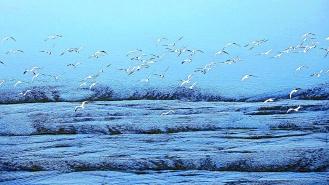 成群候鸟嬉戏张家口清水河