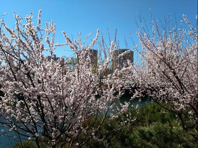 玉渊潭樱花节明天开始!花团锦簇,桃红柳绿的美景抢先看!