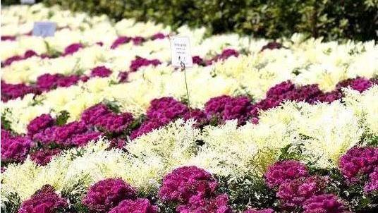 不管您信不信?玉渊潭冬日可以赏花啦!