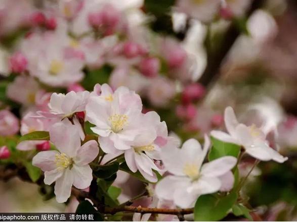 京城最大海棠花雨已漫天绽放!美到心醉还免费!只剩最后十天!