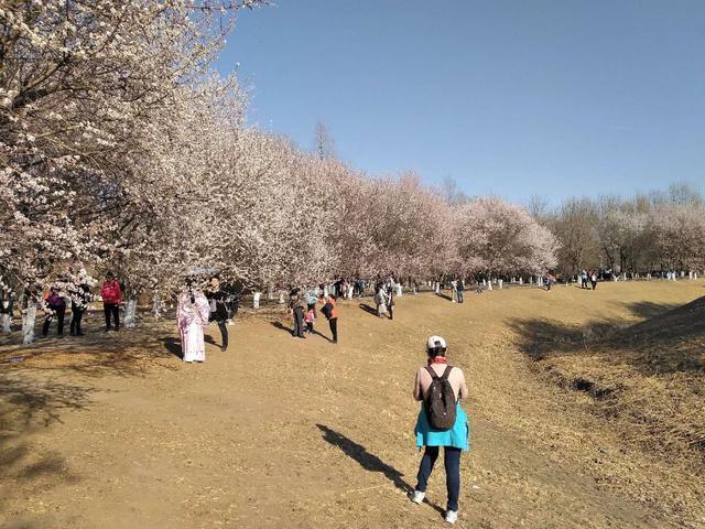 奥林匹克森林公园,北园小河两岸,桃花正盛开!