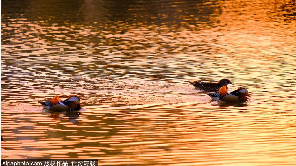 Birding in Beijing: Mandarin ducks fight for love
