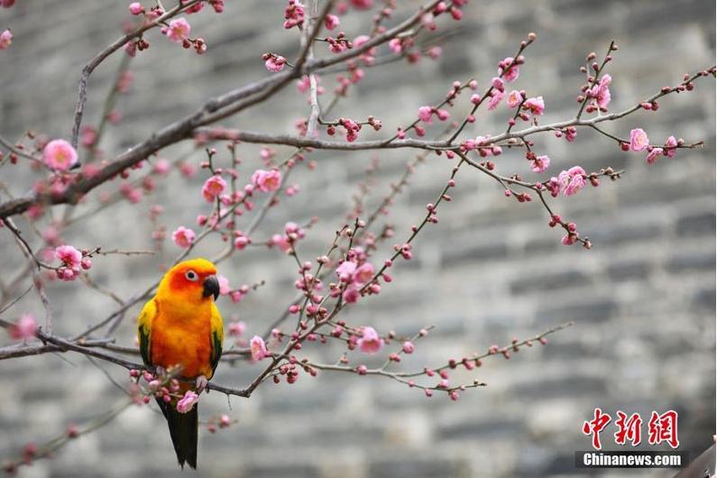 В Пекине стартовал фестиваль цветов сливы в Парке городской стены династии Мин