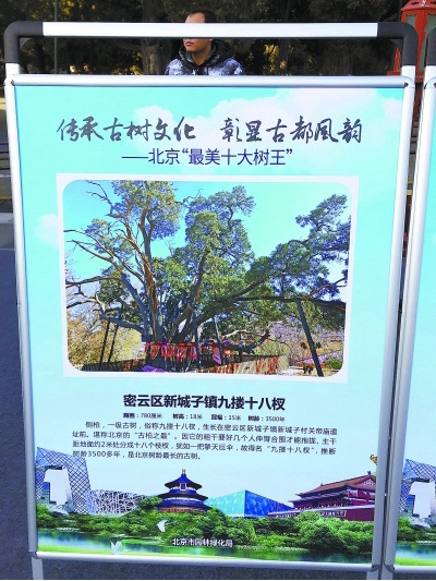"""本市""""最美十大树王""""揭晓: """"九搂十八杈""""今年三千五百岁"""
