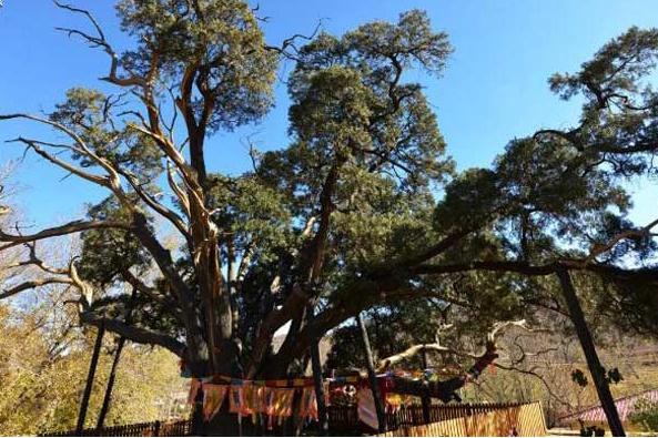 最美古树:密云区新城子镇九搂十八杈