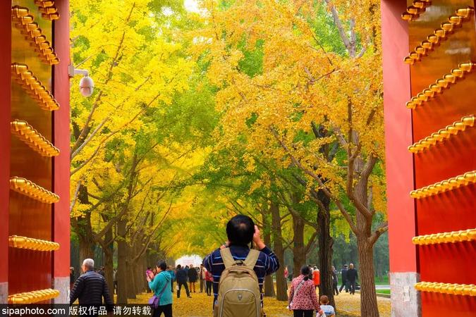 北京公園銀杏正美 二環以內最美的銀杏觀賞地請收好!