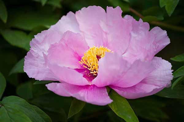 谷雨三朝看牡丹,去京城这些地方赏花!