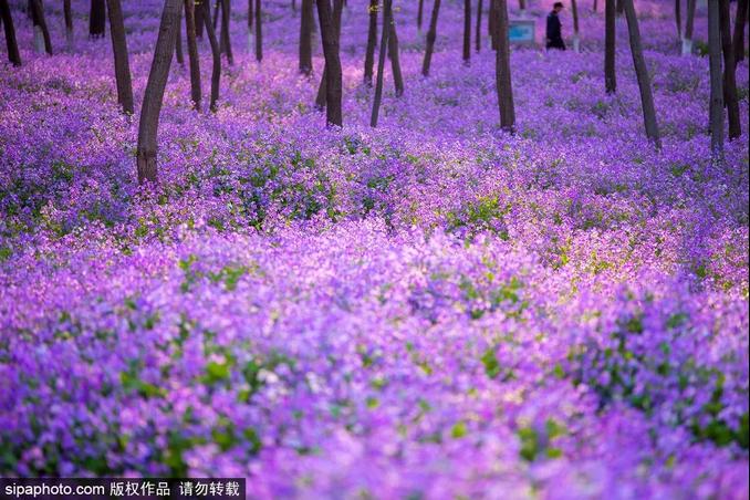 近300000m2的迷人紫色花海、明星御用拍照地~都藏在北京这个免费公园里!