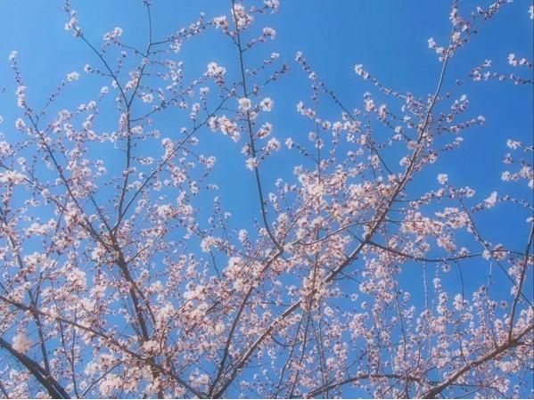 来北京西山国家森林公园,遇见晴天和山桃花