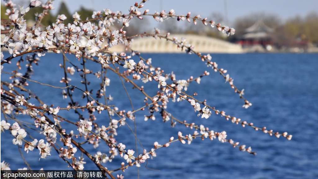 Breathtaking peach blossoms in Beijing's Summer Palace