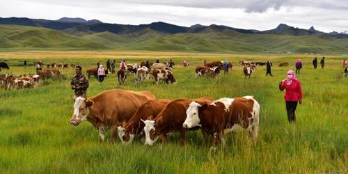 祁连山下牧民赶牲畜穿越千里草原迁徙转场