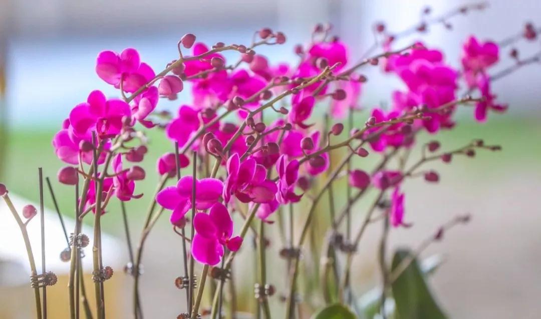 顺义迎春花展持续至2月25日