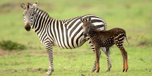 神奇的变异!条纹雌斑马生出了一只斑点斑马