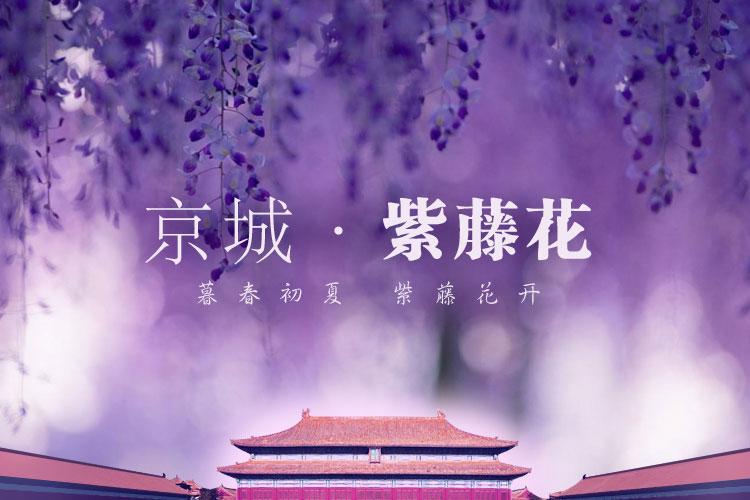 京城紫藤花 暮春初夏 紫藤花开