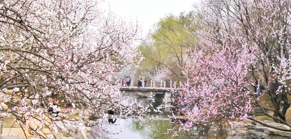 北京惊现超150万株的花海!明天起,这个地方将美出天际,引爆整个春天!