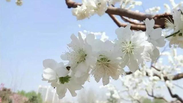花海!一万平米,50万株郁金香已经盛开!四环内这个大花园还有海棠、?#19968;ā?#26792;花、樱花……