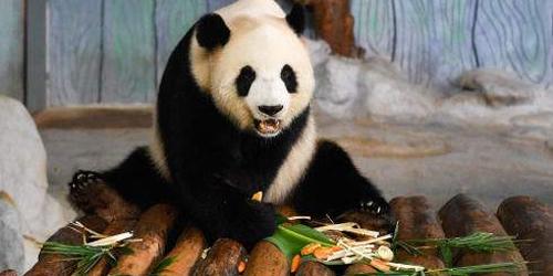 泰媒:旅泰大熊猫死亡 保险将赔1500万泰铢