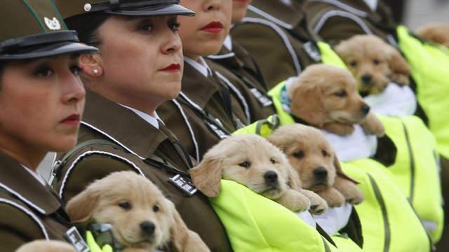 超级萌!智利阅兵式上呆萌军犬超级抢镜