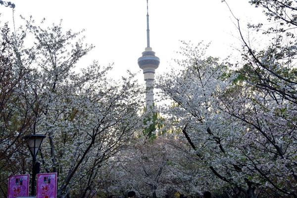 最美樱花季来啦
